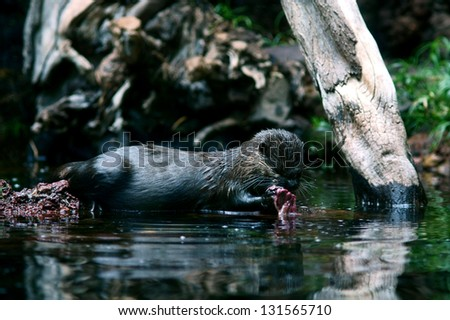 wildlife photo of small otter eating fish on a pond