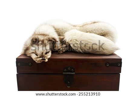 Wildlife protection. White fox pelt in the form of an animal on wooden box. Object over white - stock photo