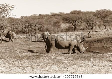 Wildlife Rhino Animals Sepia Tone Vintage Wildlife rhino animals in their habitat wilderness reserve waterhole in sepia tone vintage. - stock photo
