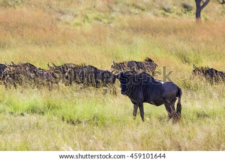 Wildlife safari of wildebeest in Africa