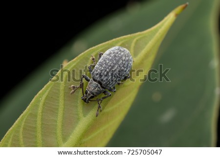 Wildlife scene image of a tiny weevil