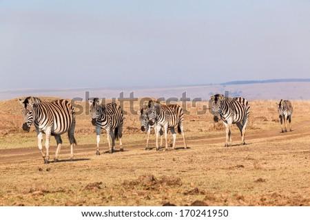 Wildlife Zebras Walking Reserve Wildlife zebra herd walking heading for waterhole early morning in dry reserve terrain - stock photo