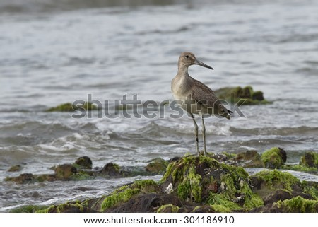 Willet at the Beach