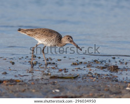 Willet found foraging on the Rhode Island coastline.  A large sized sandpiper bird. - stock photo