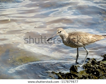 Willet in Tampa, Florida