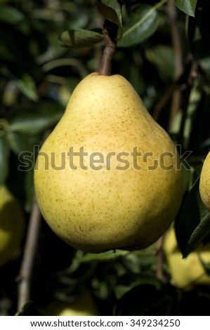 williams christ birne pear pyrus stock photo 349234250 shutterstock. Black Bedroom Furniture Sets. Home Design Ideas