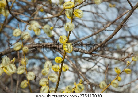 Willow bloom, spring against the sky - stock photo