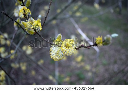 Willow blooms, willow branches with buds. Spring blooming, early spring forest blooms with willow tree flowers. - stock photo