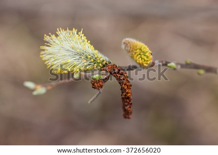 willow branch in the foreground close up - stock photo