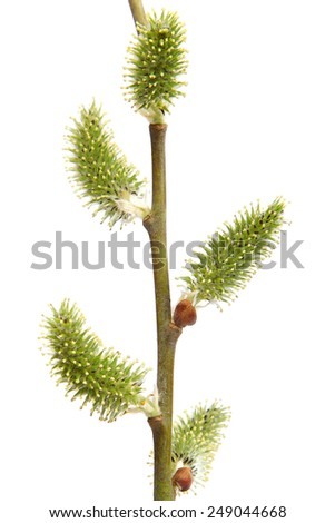 Willow branch with blossoming buds isolated on white background. - stock photo