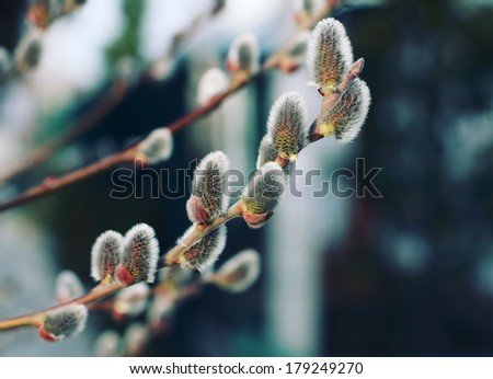 Willow branch with vintage effect - stock photo