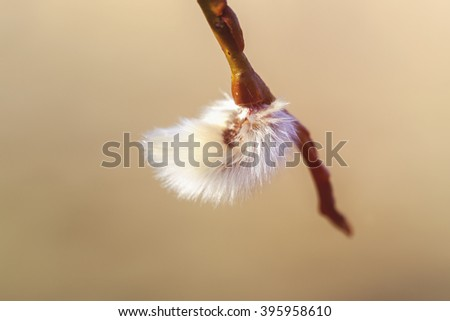 Willow catkin - soft background - stock photo