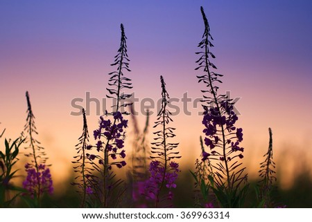 willow-herb flowers at sunset - stock photo