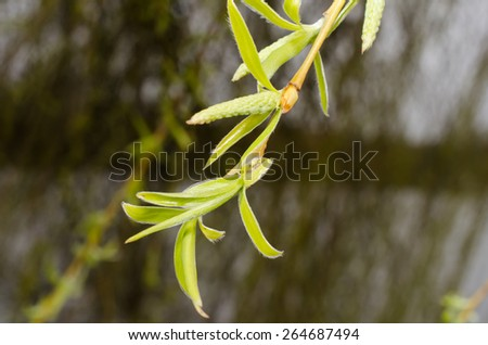 willow in spring - stock photo