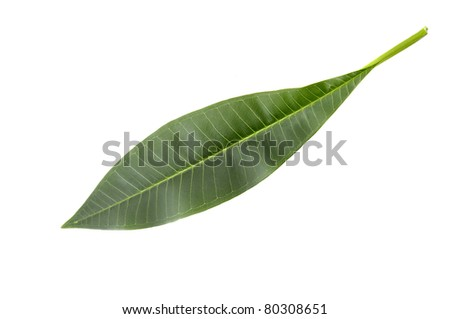 willow leaves isolated - stock photo
