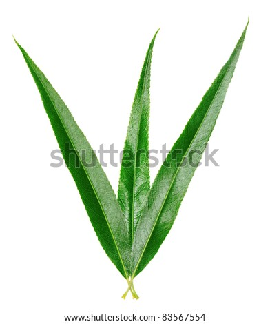 willow leaves isolated on white