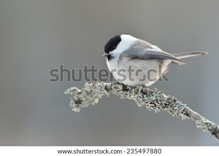 Willow tit - stock photo