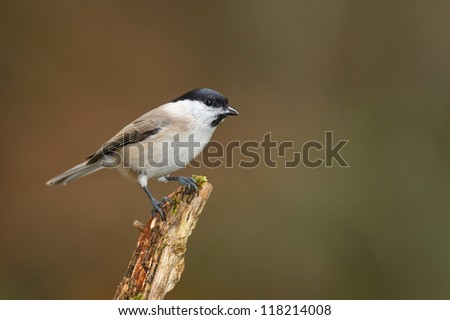 Willow tit in Bavarian forest in winter, perched on a branch