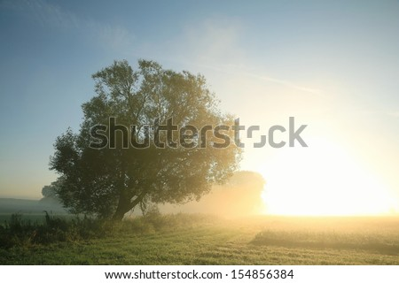 Willow tree in the meadow illuminated by the rising sun. - stock photo