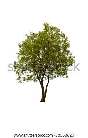 willow tree isolated on white - stock photo