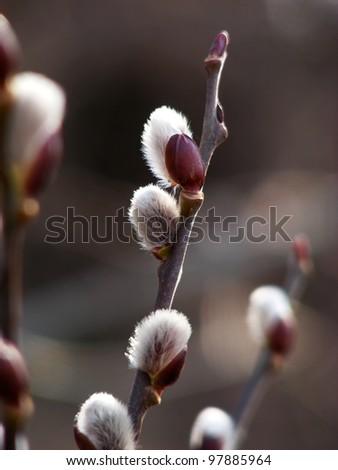 Willow twig - stock photo