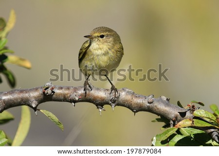 Willow Warbler  Phylloscopus trochilus - stock photo