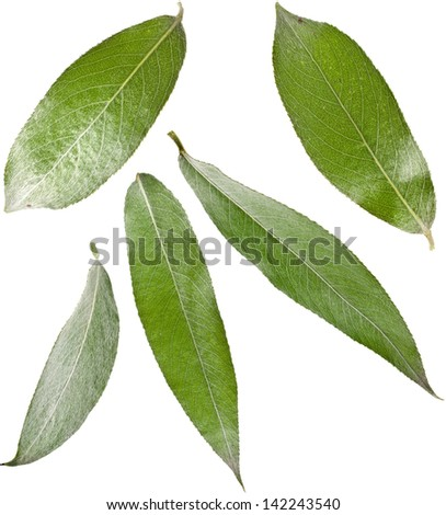 Willow weeping tree leaves isolated on white background - stock photo