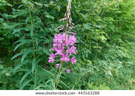 Willowherb - Epilobium Angustifolium. blooming sally (Epilobium angustifolium). Purple Alpine Fireweed. epilobium flowerÃ?? rosy blooming sally on the green grass background - stock photo