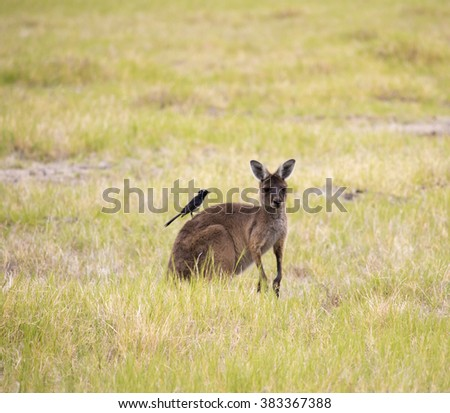 Willy wagtail on a Red kangaroo (Macropus rufus)  the largest of all kangaroos, the largest terrestrial mammal native to Australia grazing  in a green grassy paddock  on  cloudy morning  in autumn. - stock photo