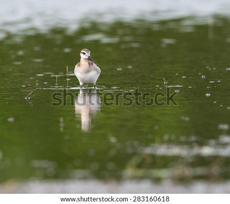 Wilson's Phalarope Feeding on a Pond