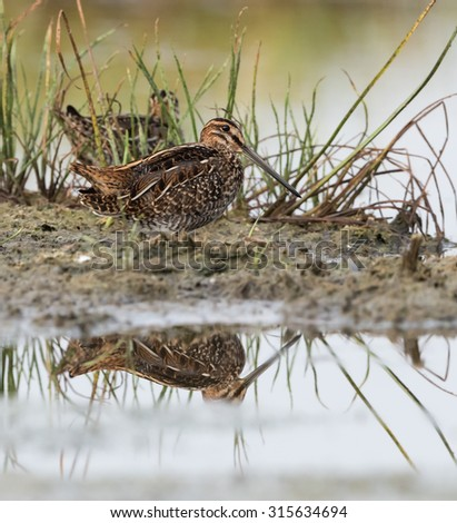 Wilson's Snipe Foraging
