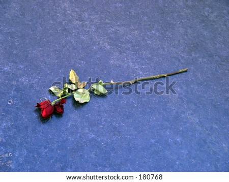 Wilted Rose - stock photo