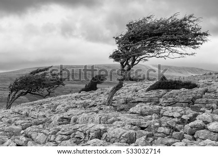 Wind blown tree, Twistleton Scar in the Yorkshire Dales