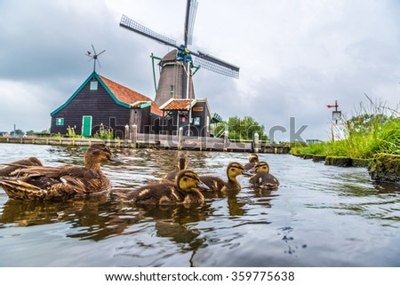 Wind mills and ducks in Zaanse Schans, Netherland. Holland - stock photo