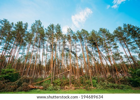 Windfall in forest. Storm damage. Fallen trees in coniferous forest after strong hurricane wind in Russia - stock photo