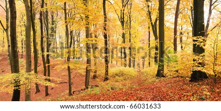 Winding footpath in a yellow beech forest in autumn - stock photo