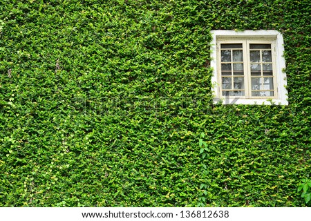 window covered with green ivy - stock photo