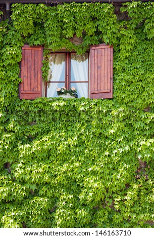 Window in the middle of green ivy - stock photo