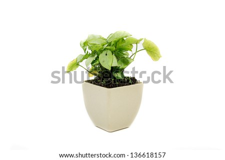 "Window plant ""Syngonium podophyllum ,a small beautiful tree on white background"