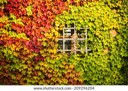 Window with red and green vine plant in autumn - stock photo