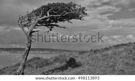 windswept solitary tree in somerset