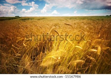 Windy Wheatfield - stock photo