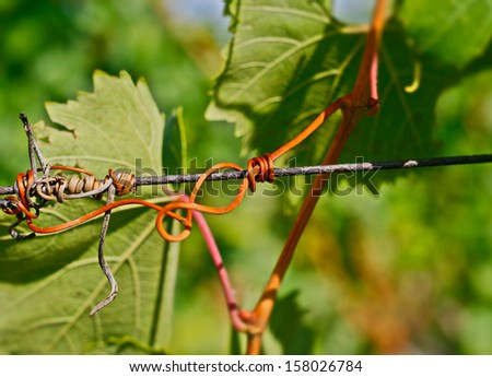 Wine Climbing Sprout Detail - stock photo