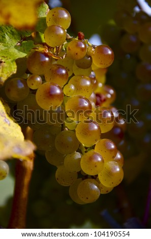 Wine Grapes- A ripe bunch of wine grapes - stock photo