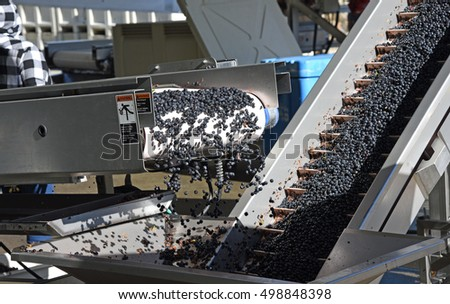 Wine grapes being processed with electric conveyors during the fall harvest in California's Napa Valley.