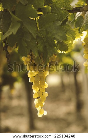 Wine grapes hang from a vine