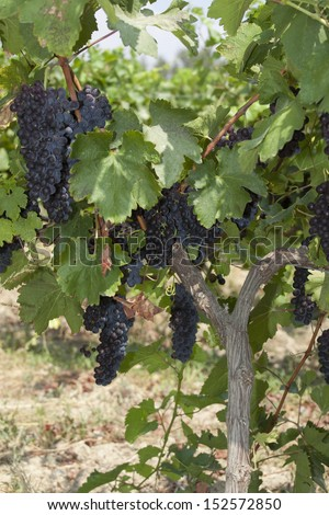 wine grapes hang from a vine. Ripe grapes with green leaves. Nature background with Vineyard. Wine concept - stock photo