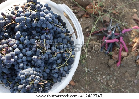 Wine grapes in a basket
