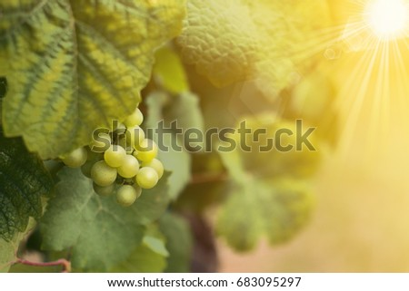 Wine grapes in summer time