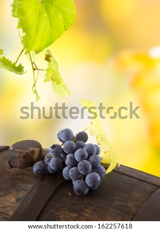 Wine grapes on a vine branch in morning sunlight - stock photo